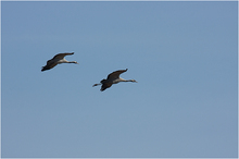 Cranes comming to Lake Hornborga