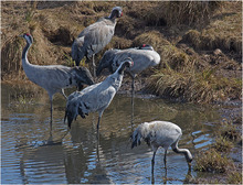 Cranes at Hornborga