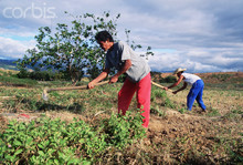 Philippine Farmers at Work in a Field
