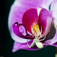 Orchid with spider
