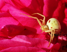 Spiders mating in a rose