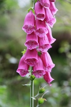 Revebjelle - Purple Foxglove - Digitalis purpurea