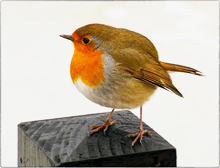 """The Winter Robin without the """"Hood"""" in the Savill´Garden Wood!"""