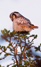 The Northern Hawk-Owl at the Moment of Sunset