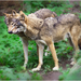The Alphas of the Gray Wolf