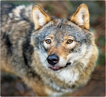 The European Gray Wolf