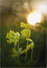 The Cowslip Spring season 2014