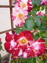 Red and white roses 7.jpg