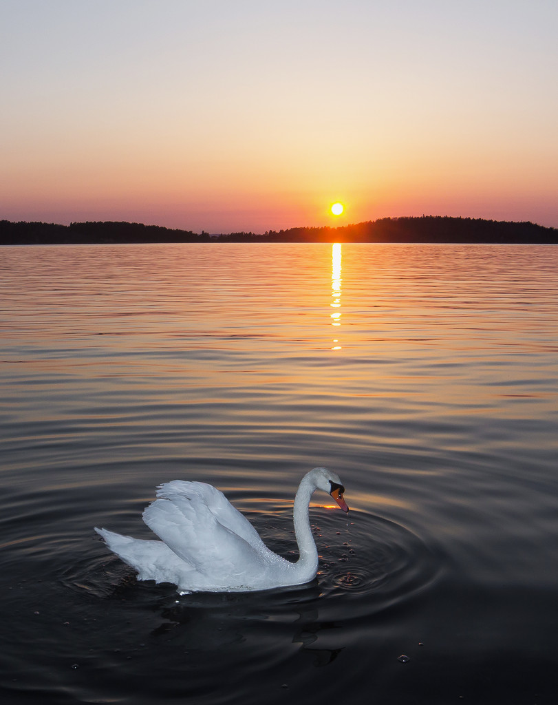 A swan in the sunset