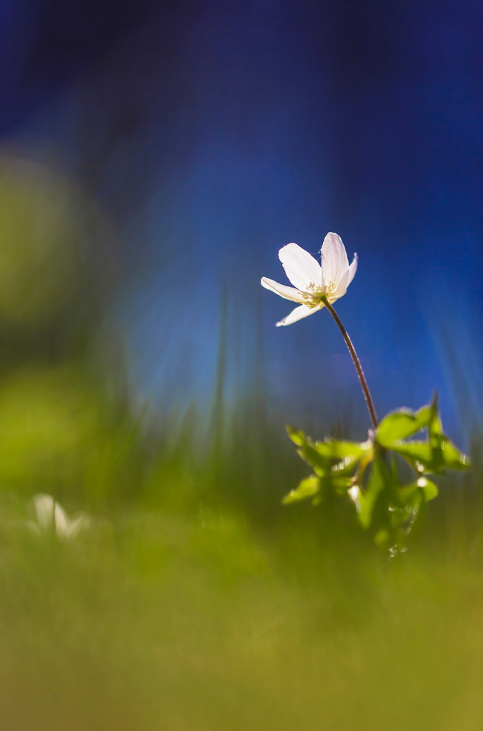 Wood anemone in the right environment