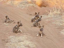 wild dog pups mack prioleau.jpg