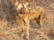 Wild Dog in South Africa - mack Prioleau