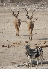 Zebra- South Africa mack Prioleau.jpg