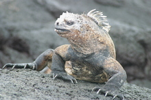 Iguana 2 by Mack Prioleau.jpg
