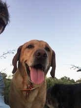 Labrador Retriever 3 Mack Prioleau.jpg