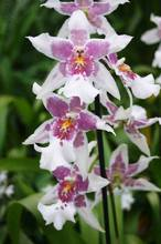 Ericka Schiffman Purple Orchid Small File.jpg