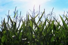 Ericka Schiffman Somerset Corn Small File.jpg