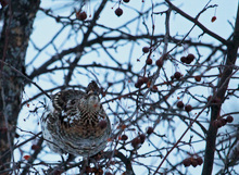 Partridge Jan. 21, 2016.jpg