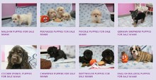 Puppy Stores In Miami - Puppies Secret #2 (786) 703-6590