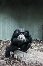 Monkey playing with ball